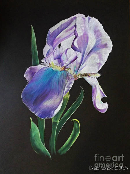 Drawing - Iris by David Neace