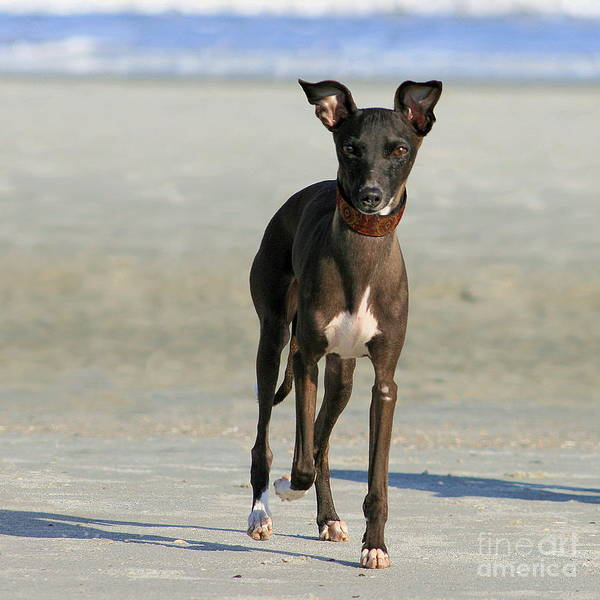 Photograph - Italian Greyhound On The Beach by Angela Rath