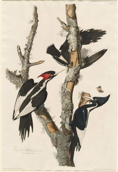 Woods Drawing - Ivory-billed Woodpecker by Dreyer Wildlife Print Collections