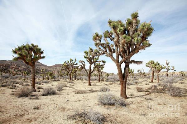 Yucca Palm Photograph - Joshua Tree National Park, California by Gal Eitan