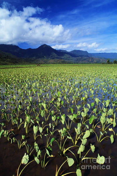 Expanse Photograph - Kauai, Wet Taro Farm by Bob Abraham - Printscapes