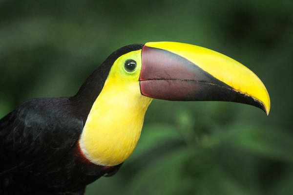 Keel-billed Toucan Photograph - Keel-billed Toucan Ramphastos by Panoramic Images