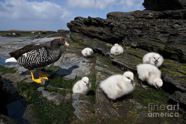 Mother Goose Photograph - Kelp Goose With Goslings by Jean-Louis Klein & Marie-Luce Hubert