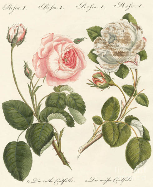 Wall Art - Drawing - Kinds Of Roses by German School