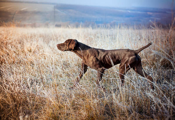 Hunting Dog Wall Art - Photograph - German Shorthaired Pointer by Elena Kovalenko