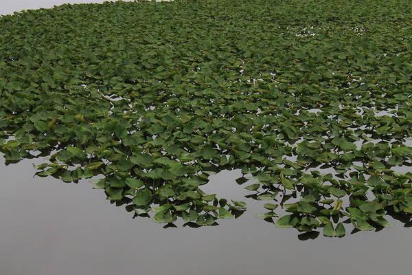 Photograph - Lake Plants by Frank Romeo