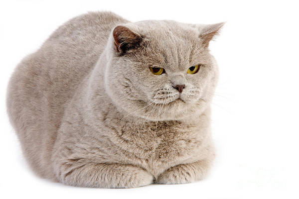 Laying Out Photograph - Lilac British Shorthair Cat by Gerard Lacz