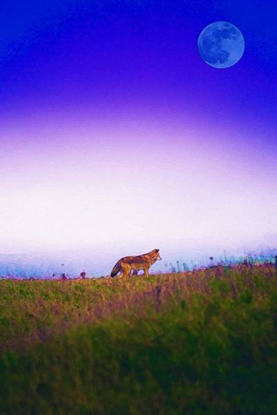 Painting - Lone Wolf, Tomales Point, Inverness, United States 1 by Celestial Images