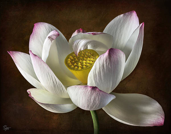 Photograph - Lotus by Endre Balogh