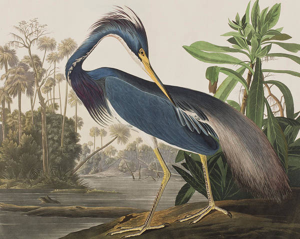 Great Blue Heron Wall Art - Painting - Louisiana Heron  by John James Audubon