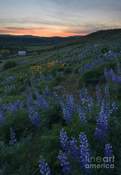 Hillside Photograph - Lupine Sunset by Mike Dawson