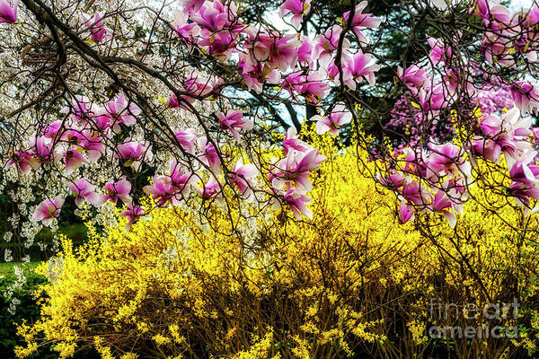Photograph - Magnolia And Forsythia by Thomas R Fletcher