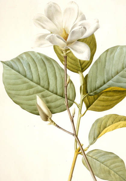 Wall Art - Painting - Magnolia by Pierre Joseph Redoute