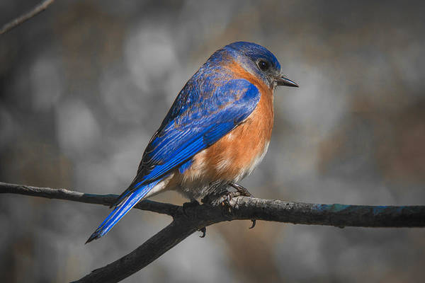 Photograph - Male Eastern Bluebird by Robert L Jackson