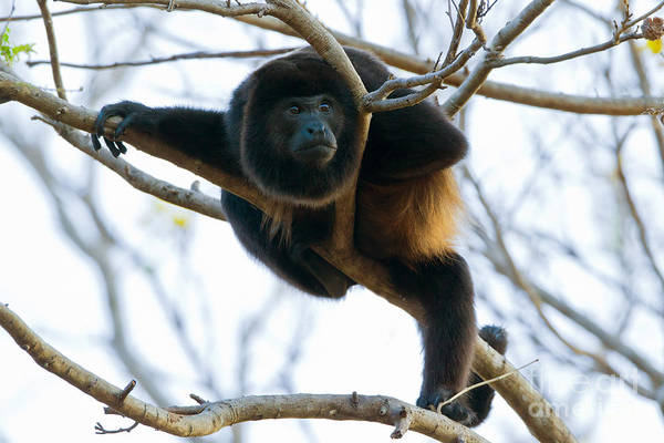 Wall Art - Photograph - Mantled Howler Monkey by B.G. Thomson