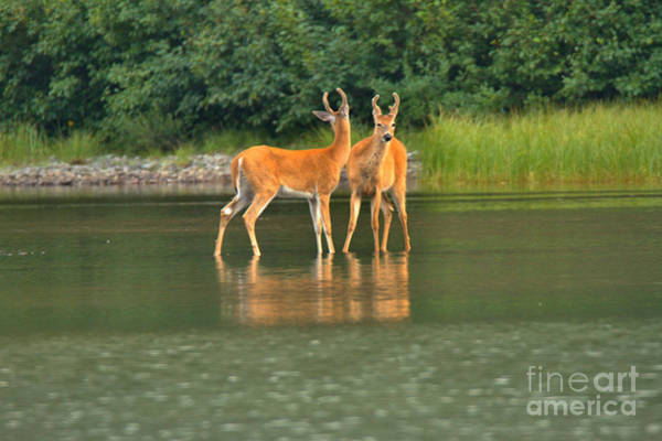 Photograph - Many Glacier Deer 1 by Adam Jewell