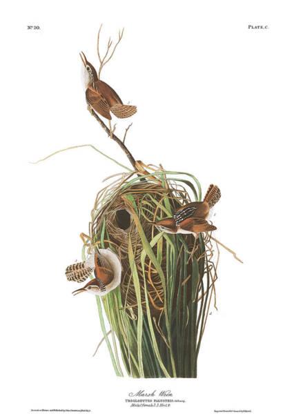 Marsh Bird Painting - Marsh Wren by John James Audubon