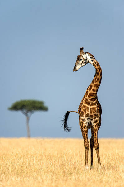 Maasai Photograph - Masai Giraffe Giraffa Camelopardalis by Panoramic Images