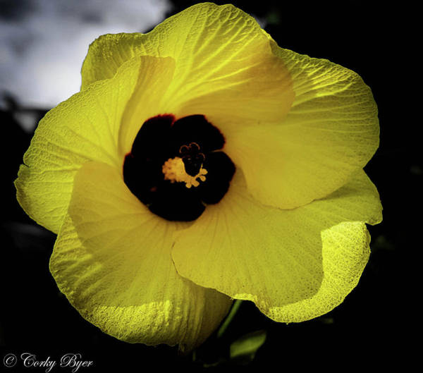 Wall Art - Photograph - Maui Yellow Bell by Corky Byer
