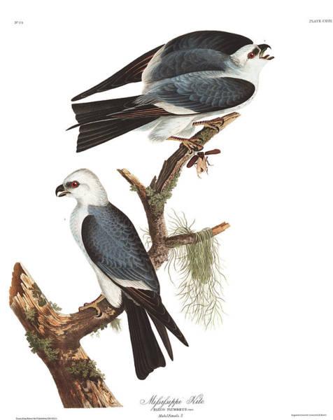Predator Painting - Mississippi Kite by John James Audubon