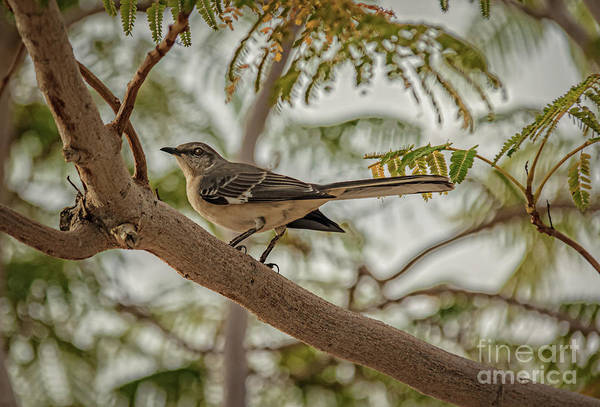 Northern Arizona Wall Art - Photograph - Mockingbird by Robert Bales