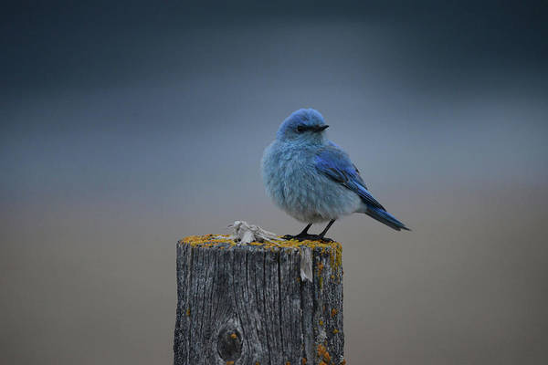 Wall Art - Photograph - Mountain Bluebird 2 by Whispering Peaks Photography
