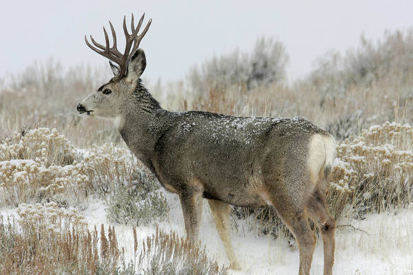 Photograph - Mule Deer by Ronnie and Frances Howard