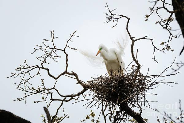 Photograph - Nesting Egret by Richard Smith