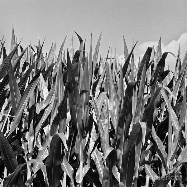 Photograph - New Corn by Patrick M Lynch