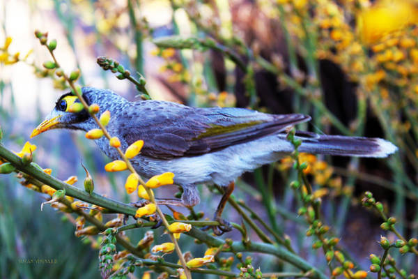 Photograph - Noisy Miner In Oz by  Susan Vineyard