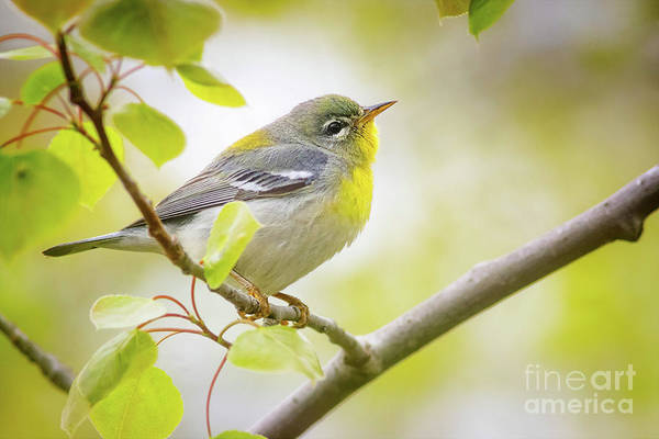 Wall Art - Photograph - Northern Parula by Todd Bielby