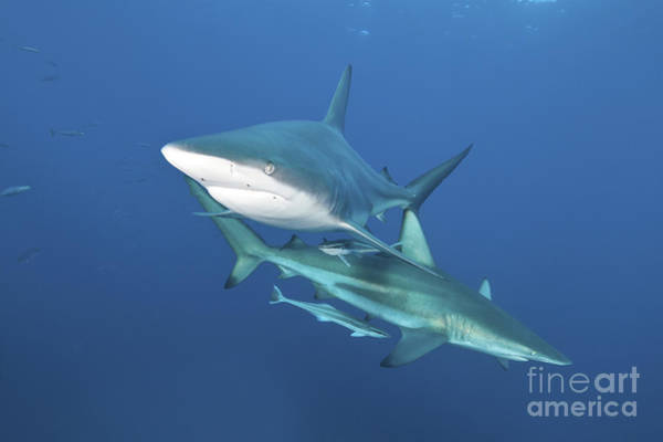 Carcharhinidae Photograph - Oceanic Blacktip Sharks With Remora by Mathieu Meur