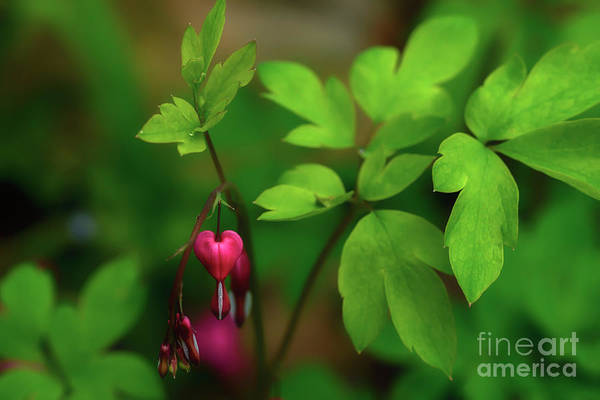 Photograph - Old-fashioned Bleeding Heart by Thomas R Fletcher
