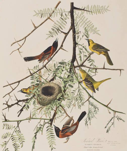 Orchard Painting - Orchard Oriole by John James Audubon