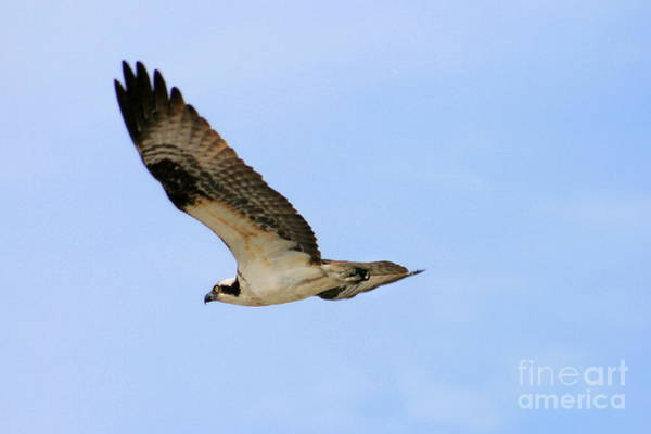 Photograph - Osprey by Angela Rath
