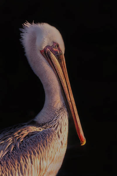 Photograph - Pelican  by Brian Cross