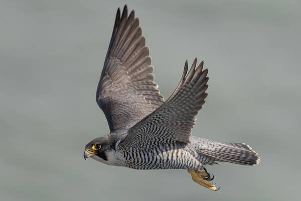 Falcons Photograph - Peregrine Falcon by Ian Hufton