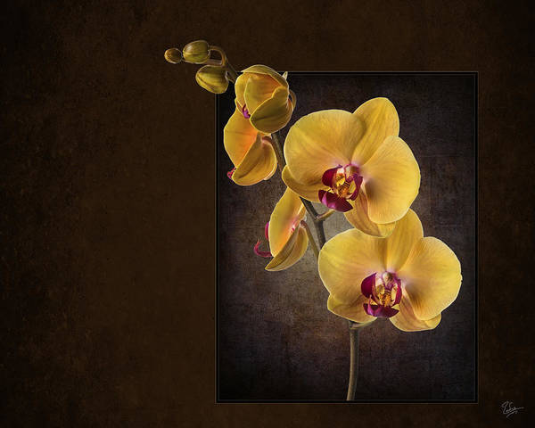 Photograph - Phalaenopsis Orchid by Endre Balogh