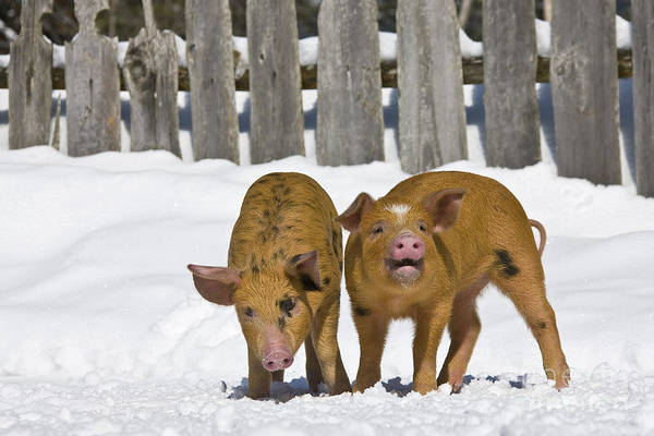 Snorting Wall Art - Photograph - Piglets In The Snow by Jean-Louis Klein & Marie-Luce Hubert