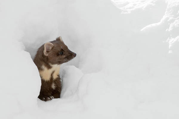 Photograph - Pine Marten In Winter by Arterra Picture Library