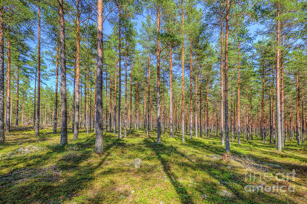 Evergreens Photograph - Pinewood by Veikko Suikkanen