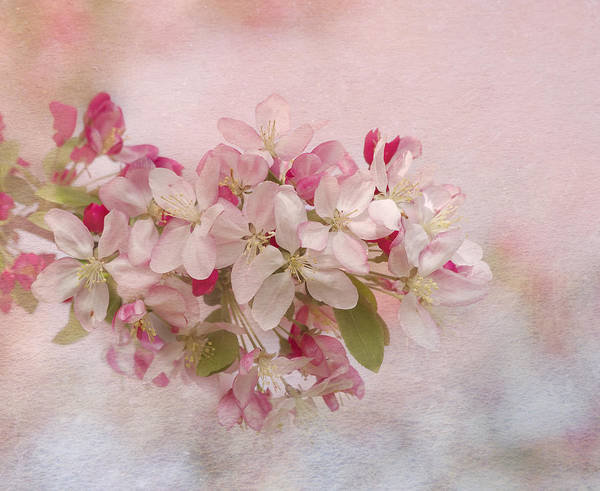 Photograph - Pink Blush by Kim Hojnacki