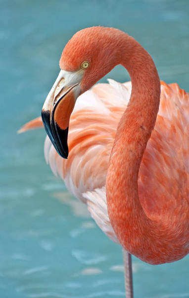Water Birds Photograph - Pink Flamingo. by Fernando Barozza
