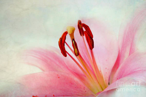 Lilly Photograph - Pink Lily by Nailia Schwarz