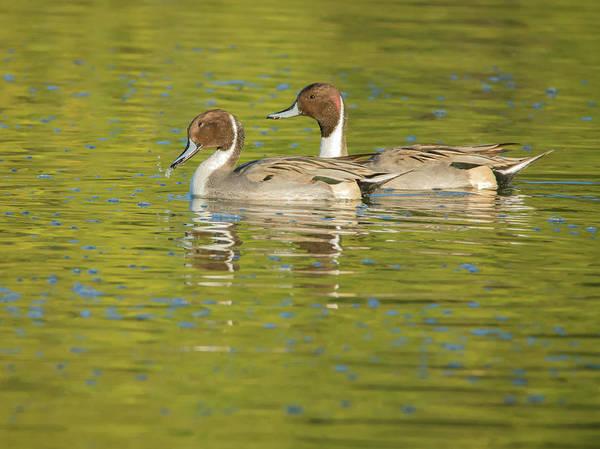 Photograph - Pintail Ducks by Tam Ryan