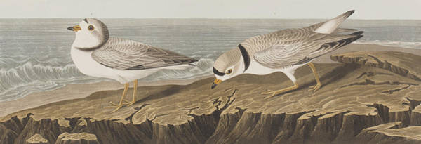 Species Drawing - Piping Plover by John James Audubon