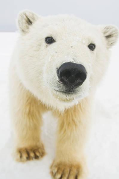 Christmas Photograph - Polar Bear  Ursus Maritimus , Curious by Steven Kazlowski