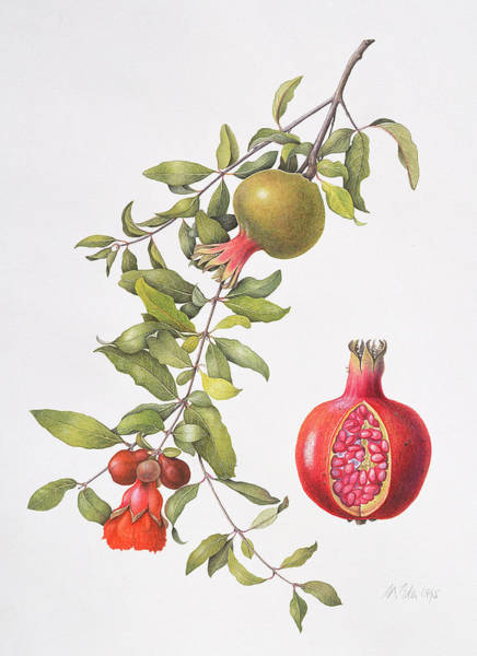 Pomegranates Painting - Pomegranate by Margaret Ann Eden