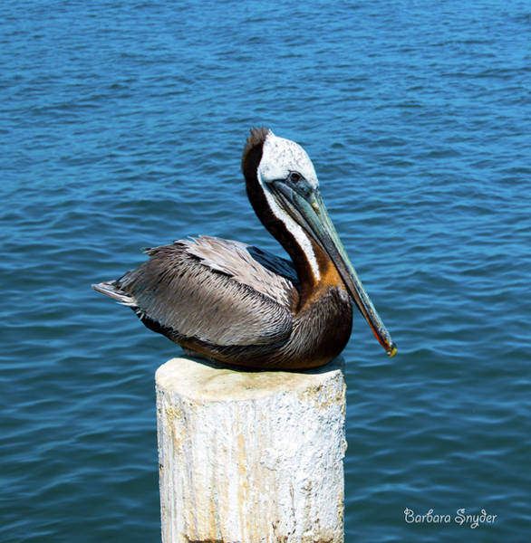 Wall Art - Photograph - Posing Pelican At Stearns Wharf  by Barbara Snyder