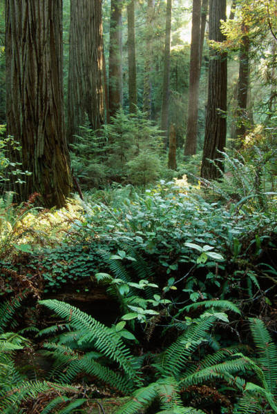 Wall Art - Photograph - Prairie Creek Redwoods by Soli Deo Gloria Wilderness And Wildlife Photography